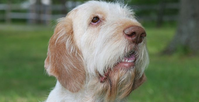 Best Dog Shampoos For Spinoni Italiani