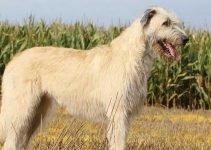 Best Dog Toys For Irish Wolfhounds