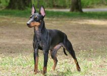 5 Best Dog Toys for Manchester Terriers (Reviews Updated 2021)