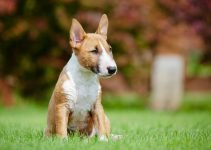 Best Dog Toys For Miniature Bull Terriers