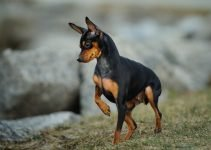 5 Best Dog Toys for Miniature Pinschers (Reviews Updated 2021)