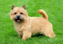 5 Best Dog Toys for Norwich Terriers (Reviews Updated 2021)