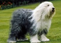 Best Dog Toys For Old English Sheepdogs