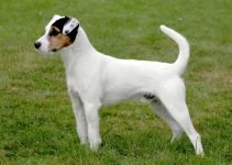 Best Dog Toys For Parson Russell Terriers