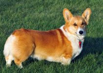 5 Best Dog Toys for Pembroke Welsh Corgis (Reviews Updated 2021)