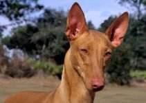 5 Best Dog Toys for Pharaoh Hounds (Reviews Updated 2021)