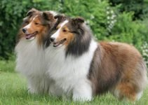 5 Best Dog Toys for Shetland Sheepdogs (Reviews Updated 2021)