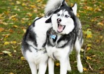 Best Dog Toys For Siberian Huskies