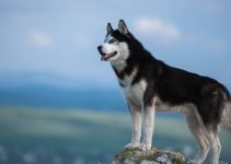 Best Dog Training Books For Siberian Huskies