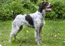 Best Puppy Foods For German Wirehaired Pointers