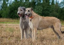 Best Puppy Foods For Irish Wolfhounds