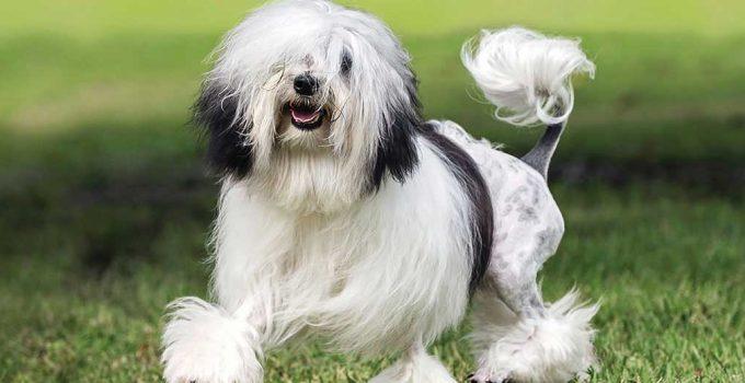 Best Puppy Foods For Lowchen