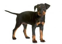 5 Best Puppy Foods for Manchester Terriers (Reviews Updated 2021)