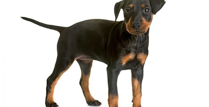 Best Puppy Foods For Manchester Terriers