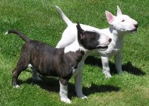 5 Best Puppy Foods for Miniature Bull Terriers (Reviews Updated 2021)