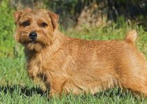 Best Puppy Foods For Norfolk Terriers