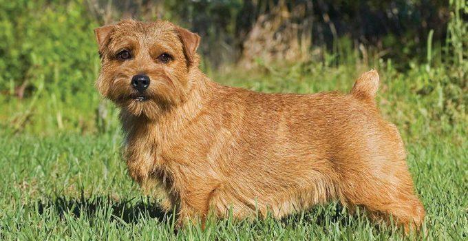 Best Puppy Foods For Norfolk Terriers