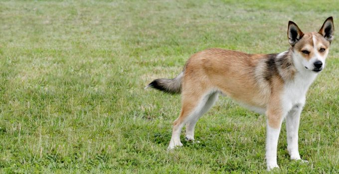 Best Puppy Foods For Norwegian Lundehunds