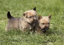 Best Puppy Foods For Norwich Terriers