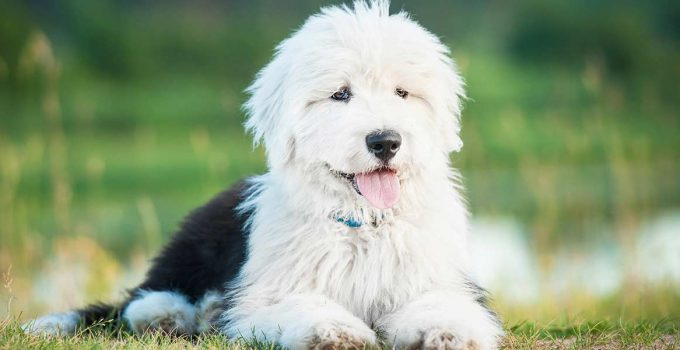 Best Puppy Foods For Old English Sheepdogs