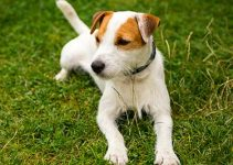 5 Best Puppy Foods for Parson Russell Terriers (Reviews Updated 2021)