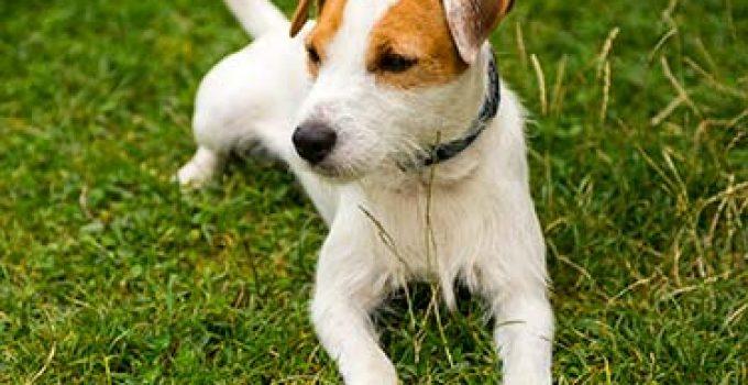 Best Puppy Foods For Parson Russell Terriers