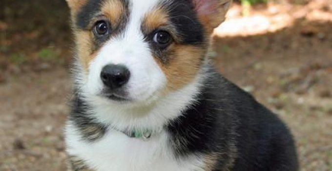 Best Puppy Foods For Pembroke Welsh Corgis