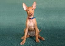 5 Best Puppy Foods for Pharaoh Hounds (Reviews Updated 2021)