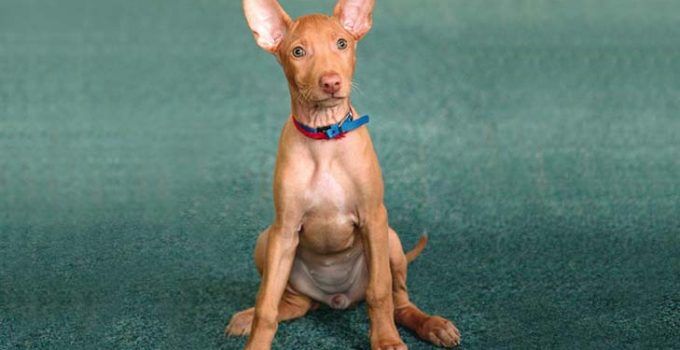 Best Puppy Foods For Pharaoh Hounds