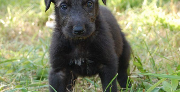 Best Puppy Foods For Scottish Deerhounds