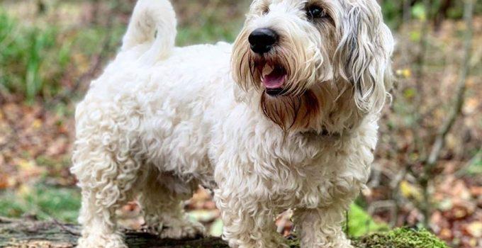 Best Puppy Foods For Sealyham Terriers
