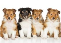 Best Puppy Foods For Shetland Sheepdogs