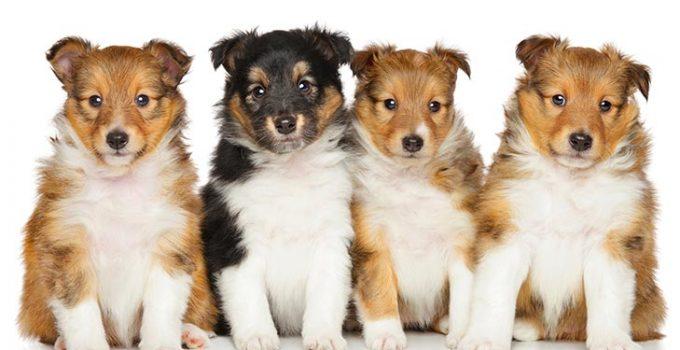 Best Puppy Foods For Shetland Sheepdogs