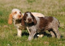 Best Puppy Foods For Spinoni Italiani
