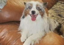5 Best Dog Beds for Aussie Poms (Reviews Updated 2021)