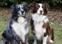5 Best Dog Beds for Border Aussies (Reviews Updated 2021)