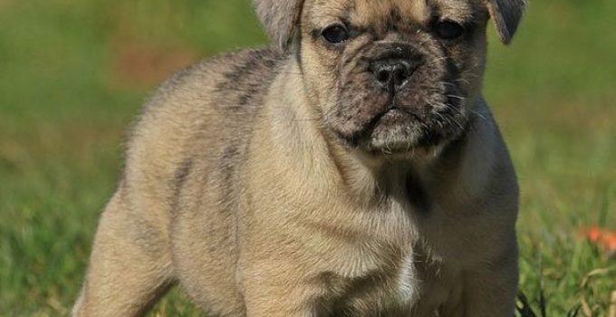 Best Dog Beds For Bull Pugs