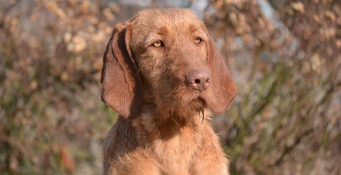 Best Dog Beds For Wirehaired Vizslas