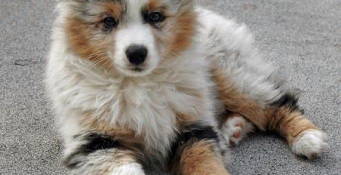 Best Dog Brushes For Aussie Poms
