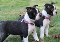 Best Dog Brushes For Boston Boxers