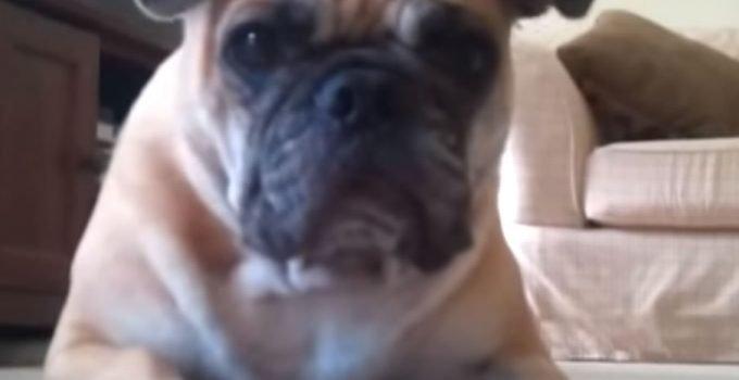 Best Dog Brushes For Bull Pugs