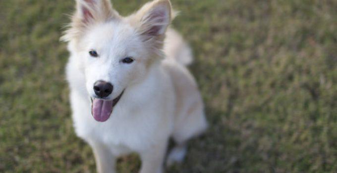 Best Dog Brushes For Goberians