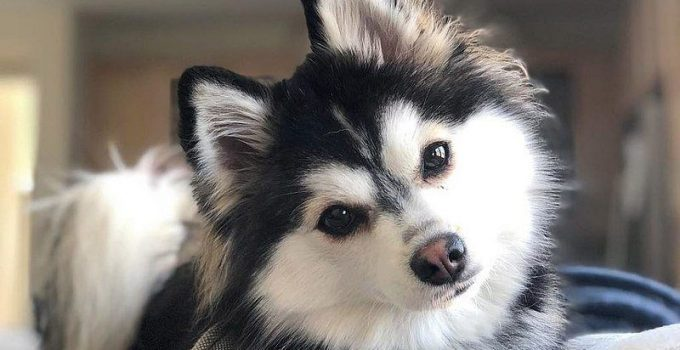 Best Dog Brushes For Pomskies