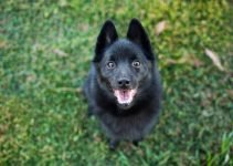 Best Dog Brushes For Schipperkes