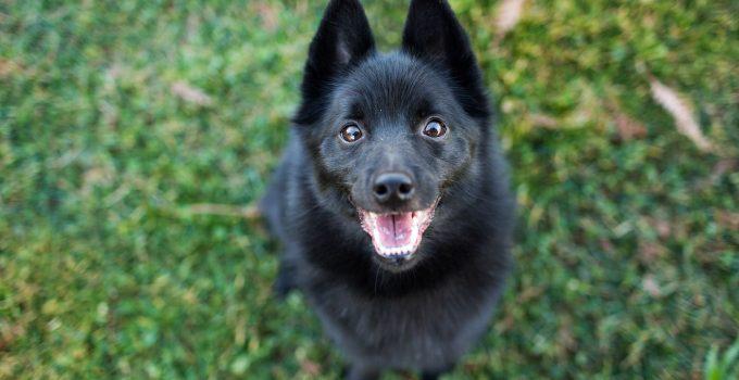 Best Dog Brushes For Schipperkes