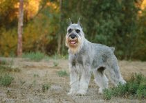 5 Best Dog Brushes for Standard Schnauzers (Reviews Updated 2021)