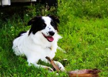 5 Best Dog Collars for Border Aussies (Reviews Updated 2021)