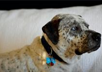 Best Dog Collars For Bullmatians