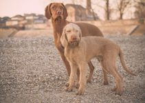 5 Best Dog Collars for Wirehaired Vizslas (Reviews Updated 2021)