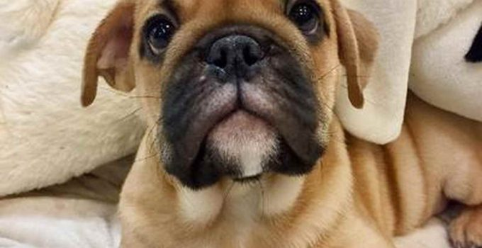 Best Dog Crates For Bull Pugs
